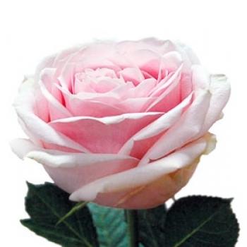 ROSA SWEET AVALANCHE 40