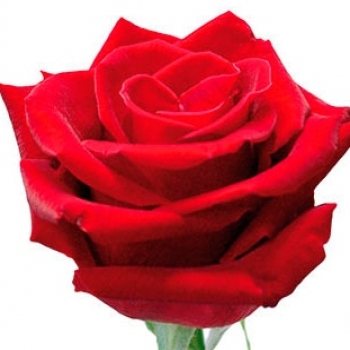 ROSA LOVELY RED 50