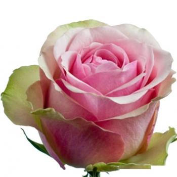 ROSA BELLE ROSE 50
