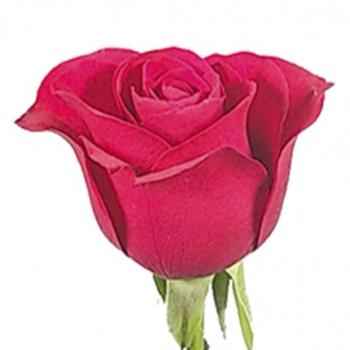ROSA RED ALERT 40