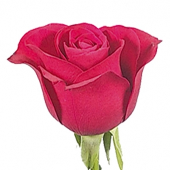 ROSA RED ALERT 60