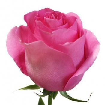 ROSA PINK MARTINI 60