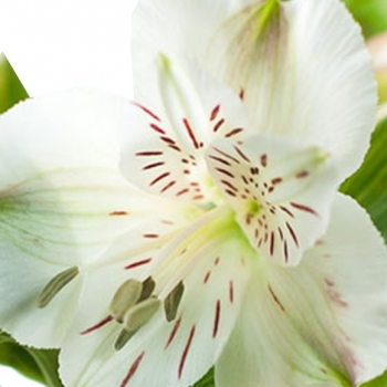 ALSTROEMERIA WHITNEY 60