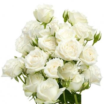 SPRAY WHITE ROSEVER 60